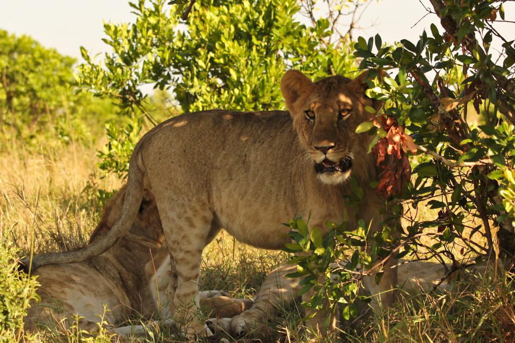 Filhotes de leão!